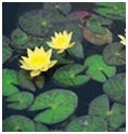 Lily Pond and Water Gardening Supplies