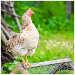 Free Chicken Tractor Plans
